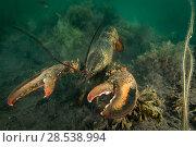 Купить «American / Northern lobster (Homarus americanus) Nova Scotia, Canada, July.», фото № 28538994, снято 16 августа 2018 г. (c) Nature Picture Library / Фотобанк Лори