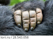 Купить «Moutain gorilla (Gorilla beringei beringei) close up of hand, Virunga National Park, North Kivu, Democratic Republic of Congo, Africa, Critically endangered.», фото № 28543058, снято 23 октября 2018 г. (c) Nature Picture Library / Фотобанк Лори