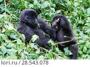 Купить «Mountain gorillas (Gorilla beringei beringei) two juveniles playing, members of the Munyaga group, Virunga National Park, North Kivu, Democratic Republic of Congo, Africa, Critically endangered.», фото № 28543078, снято 25 марта 2019 г. (c) Nature Picture Library / Фотобанк Лори