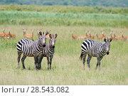 Купить «Three Burchell's zebras (Equus quagga burchellii) with an Impala (Aepyceros melampus) herd behind, Akagera National Park, Rwanda, Africa.», фото № 28543082, снято 22 июля 2019 г. (c) Nature Picture Library / Фотобанк Лори