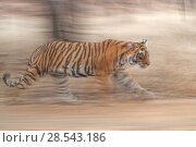 RF- Bengal tiger (Panthera tigris) female 'Noor' running, Ranthambhore, India, Endangered species. (This image may be licensed either as rights managed or royalty free.) Стоковое фото, фотограф Andy Rouse / Nature Picture Library / Фотобанк Лори