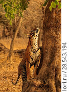 Купить «Bengal tiger (Panthera tigris) male 'T9 - Cowboy' starting to climbing tree, Ranthambhore, India, Endangered species.», фото № 28543194, снято 20 июля 2018 г. (c) Nature Picture Library / Фотобанк Лори