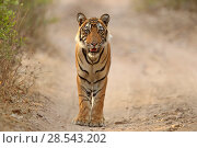 Купить «Bengal tiger (Panthera tigris) cub 'T60', Ranthambhore, India, Endangered species.», фото № 28543202, снято 18 сентября 2018 г. (c) Nature Picture Library / Фотобанк Лори