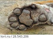 Купить «Bengal tiger (Panthera tigris) paw, female, Ranthambhore, India, Endangered species.», фото № 28543206, снято 22 июля 2018 г. (c) Nature Picture Library / Фотобанк Лори