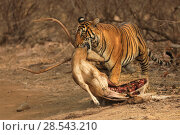 Купить «Bengal tiger (Panthera tigris) female 'Noor' with Chital kill, Ranthambhore, India, Endangered species.», фото № 28543210, снято 22 июля 2018 г. (c) Nature Picture Library / Фотобанк Лори
