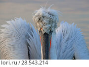 Купить «Dalmatian pelican (Pelecanus crispus) on lake with wings partially open, in breeding plumage, Lake Kerkini, Greece, Febuary.», фото № 28543214, снято 20 августа 2018 г. (c) Nature Picture Library / Фотобанк Лори