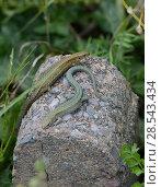Купить «Two Common lizards (Zootoca vivipara) basking on rock, showing polymorphism, Devon, UK. August.», фото № 28543434, снято 23 марта 2019 г. (c) Nature Picture Library / Фотобанк Лори
