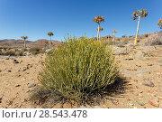 Купить «Pencil milkbush (Euphorbia mauritanica) growing among Quiver trees (Aloidendron dichotomum), near Leliesfontein, Namaqualand, South Africa», фото № 28543478, снято 19 июня 2019 г. (c) Nature Picture Library / Фотобанк Лори