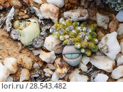 Купить «Endemic succulents Oophytum nanum and Argyroderma delaetii growing among quartz pebbles in the Knersvlakte, Western Cape, South Africa, where they are endemic», фото № 28543482, снято 18 сентября 2018 г. (c) Nature Picture Library / Фотобанк Лори
