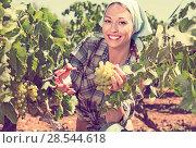 Купить «Young admiring woman picking ripe grapes on vineyard», фото № 28544618, снято 14 октября 2019 г. (c) Яков Филимонов / Фотобанк Лори