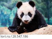 Купить «Giant panda cub (Ailuropoda melanoleuca) portrait Yuan Meng, first giant panda ever born in France,  age 10 months. Captive at Beauval Zoo, Saint Aignan sur Cher, France», фото № 28547186, снято 20 мая 2019 г. (c) Nature Picture Library / Фотобанк Лори