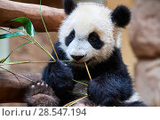 Купить «Giant panda (Ailuropoda melanoleuca) cub playfuly chewing a bamboo stick. Yuan Meng, first giant panda ever born in France, is now 10 months old and still...», фото № 28547194, снято 27 мая 2019 г. (c) Nature Picture Library / Фотобанк Лори