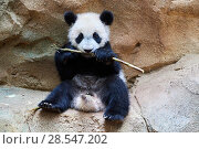 Купить «Giant panda (Ailuropoda melanoleuca) cub playfuly chewing a bamboo stick. Yuan Meng, first giant panda ever born in France, is now 10 months old and still...», фото № 28547202, снято 27 мая 2019 г. (c) Nature Picture Library / Фотобанк Лори