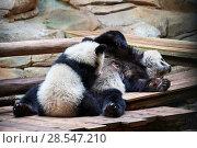 Купить «Giant panda cub (Ailuropoda melanoleuca) Yuan Meng suckling from his mother Huan Huan. Yuan Meng, first giant panda ever born in France, age 10 months...», фото № 28547210, снято 27 мая 2019 г. (c) Nature Picture Library / Фотобанк Лори