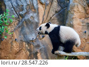 Купить «Giant panda (Ailuropoda melanoleuca) cub exploring during its outings in the enclosure. Yuan Meng, first giant panda ever born in France,  age 10 months...», фото № 28547226, снято 25 июня 2018 г. (c) Nature Picture Library / Фотобанк Лори