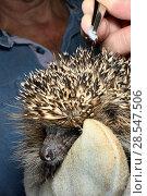 Купить «Hedgehog tick (Ixodes hexagonus) removed from a Hedgehog (Erinaceus europaeus) with tweezers, Chippenham, Wiltshire, UK, August 2017. Model released.», фото № 28547506, снято 19 июля 2018 г. (c) Nature Picture Library / Фотобанк Лори