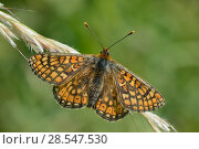 Купить «Marsh fritillary butterfly (Euphydryas aurinia) sunning on grass flowers in a chalk grassland meadow, Wiltshire, UK, May.», фото № 28547530, снято 13 декабря 2018 г. (c) Nature Picture Library / Фотобанк Лори