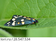 Купить «Scarlet tiger moth (Callimorpha dominula) resting with its wings closed on a Comfrey leaf (Symphytum officinale) Wiltshire, UK, June.», фото № 28547534, снято 12 декабря 2018 г. (c) Nature Picture Library / Фотобанк Лори