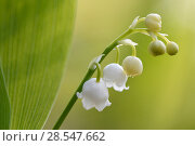 Купить «Lily of the valley (Convallaria majalis)  Vosges, France, April.», фото № 28547662, снято 15 июля 2018 г. (c) Nature Picture Library / Фотобанк Лори