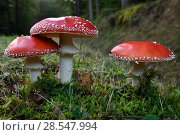 Купить «Fly agaric (Amanita muscaria) Vosges forest, France, September.», фото № 28547994, снято 20 августа 2018 г. (c) Nature Picture Library / Фотобанк Лори