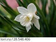Купить «Нарциссы в весеннем саду», фото № 28548406, снято 4 мая 2018 г. (c) Ольга Сейфутдинова / Фотобанк Лори