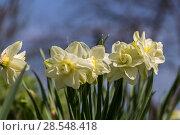 Купить «Нарциссы в весеннем саду», фото № 28548418, снято 5 мая 2018 г. (c) Ольга Сейфутдинова / Фотобанк Лори