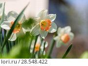 Купить «Нарциссы в весеннем саду», фото № 28548422, снято 5 мая 2018 г. (c) Ольга Сейфутдинова / Фотобанк Лори