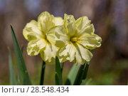Купить «Нарциссы в весеннем саду», фото № 28548434, снято 5 мая 2018 г. (c) Ольга Сейфутдинова / Фотобанк Лори