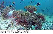 School of anemonefish and triggerfish swim over anemone, Maldive anemonefish - Amphiprion nigripes and Red-toothed triggerfish - Odonus niger. Indian Ocean, Maldives, Asia. Стоковое видео, видеограф Некрасов Андрей / Фотобанк Лори