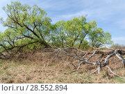 Купить «Старая упавшая ветла», фото № 28552894, снято 5 мая 2018 г. (c) Владимир Федечкин / Фотобанк Лори
