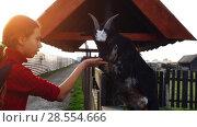 Купить «Little girl feeds goats on farm», видеоролик № 28554666, снято 11 апреля 2018 г. (c) BestPhotoStudio / Фотобанк Лори
