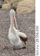 Купить «Australian pelican (Pelecanus conspicillatus) preening Kangaroo Island, Australia», фото № 28556650, снято 17 августа 2018 г. (c) Nature Picture Library / Фотобанк Лори