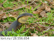 Купить «Lowland copperhead snake (Austrelaps superbus)  Tasmania, Australia», фото № 28556654, снято 15 августа 2018 г. (c) Nature Picture Library / Фотобанк Лори