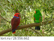 Купить «Eclectus parrot (Eclectus roratus) female on left and male on right, captive. Captive.», фото № 28556662, снято 18 августа 2018 г. (c) Nature Picture Library / Фотобанк Лори