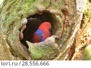 Купить «Eclectus parrot (Eclectus roratus) female at nest hollow, captive. Captive.», фото № 28556666, снято 14 августа 2018 г. (c) Nature Picture Library / Фотобанк Лори