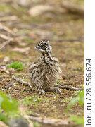 Emu (Dromaius novaehollandiae) chick, Victoria, Australia, October. Стоковое фото, фотограф Dave Watts / Nature Picture Library / Фотобанк Лори