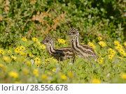 Купить «Emu (Dromaius novaehollandiae) chicks among flowers, Victoria, Australia», фото № 28556678, снято 21 августа 2018 г. (c) Nature Picture Library / Фотобанк Лори