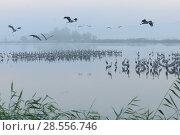 Купить «Common cranes (Grus grus) beginning to leave night time roost at dawn, Agamon Hula, Hula Valley , Israel. November.», фото № 28556746, снято 21 июля 2018 г. (c) Nature Picture Library / Фотобанк Лори