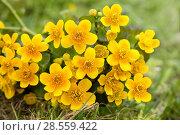 Купить «Яркие желтые цветы калужницы болотной на зеленом растительном фоне», фото № 28559422, снято 3 июня 2018 г. (c) Наталья Осипова / Фотобанк Лори