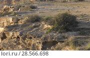 Купить «Самец каменки-плешанки на кусте. Male of fied wheatear on the shrub.», видеоролик № 28566698, снято 11 июня 2018 г. (c) Евгений Романов / Фотобанк Лори