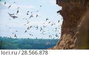 Купить «Large flock of birds flying on the cliff in summer day over the river», видеоролик № 28566878, снято 16 июля 2019 г. (c) Константин Шишкин / Фотобанк Лори