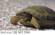 Среднеазиатская черепаха на берегу Каспийского моря. Central Asian tortoise on Caspian seacoast. Стоковое видео, видеограф Евгений Романов / Фотобанк Лори