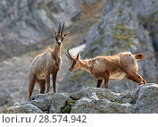 Abruzzo chamois (Rupicapra rupicapra) in spring moult on a rocky ledge. Apennines, Italy, May. Стоковое фото, фотограф Kim Taylor / Nature Picture Library / Фотобанк Лори