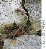 Купить «Common wall lizard (Podarcis muralis) pair sharing a rock crevice. Apennines, Italy, May.», фото № 28574970, снято 29 мая 2020 г. (c) Nature Picture Library / Фотобанк Лори