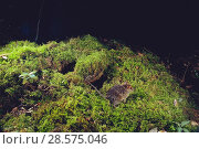 Купить «Amami / Ryukyu spiny rat (Tokudaia osimensis) playing in front of its nest, Amami Oshima Island, Ryukyu Archipelago, Japan.», фото № 28575046, снято 21 ноября 2018 г. (c) Nature Picture Library / Фотобанк Лори