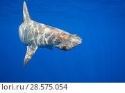 Купить «Female scalloped hammerhead shark, (Sphyrna lewini) off Keauhou, South Kona, Big Island, Hawaii,  Central Pacific Ocean», фото № 28575054, снято 27 марта 2019 г. (c) Nature Picture Library / Фотобанк Лори