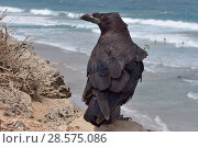 Купить «Canary Island Raven (Corvus corax tingitanus) adult perched on sea cliff edge with surfers in the background, Fuerteventura, Canary Islands, May. This...», фото № 28575086, снято 19 марта 2019 г. (c) Nature Picture Library / Фотобанк Лори