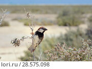Купить «Spanish sparrow (Passer hispaniolensis) male perched in a Sea grape bush (Zygophyllum fontanesii) in coastal scrubland, Sotavento lagoon, Fuerteventura, Canary Islands, May.», фото № 28575098, снято 19 июля 2018 г. (c) Nature Picture Library / Фотобанк Лори