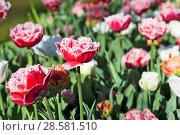 Купить «Бахромчатые тюльпаны», фото № 28581510, снято 4 мая 2018 г. (c) Сергей Афанасьев / Фотобанк Лори