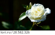 Купить «Beautiful white blooming roses», видеоролик № 28582326, снято 14 июня 2018 г. (c) Peredniankina / Фотобанк Лори